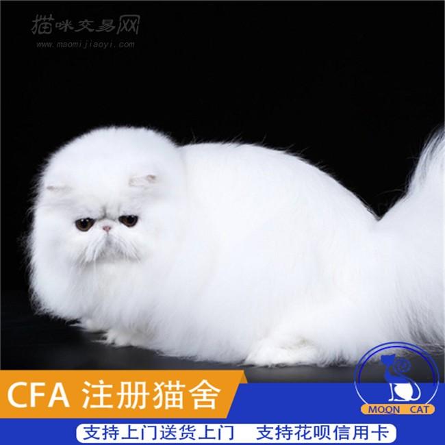 幼黄_自家繁殖出售波斯猫幼猫幼崽出售黄白波斯猫纯种健康
