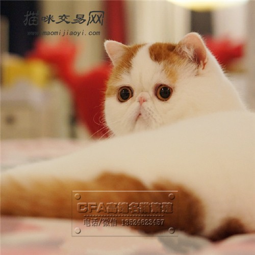 宠物店出售纯种异国短毛猫加菲猫波斯猫幼猫幼崽活体