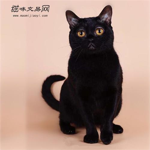 世界十大禁养名猫图片