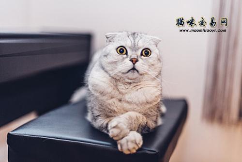 最常见的遗传病_折耳猫有哪些遗传病?折耳猫一定会发病吗? – 喵星球
