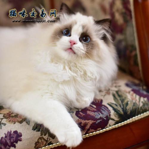 为什么叫布偶猫?主人必知小常识_布偶猫的品种及价格