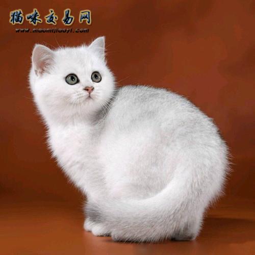 英国短毛猫图片