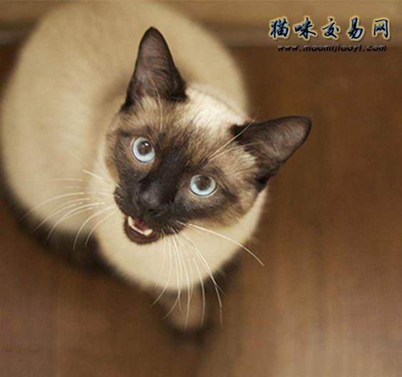 暹罗猫皮肤病图片