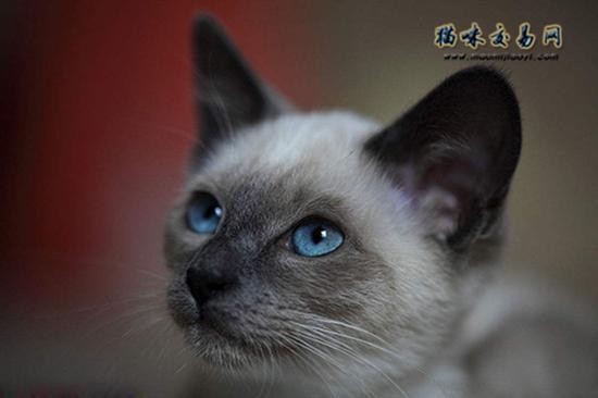 暹罗猫皮肤病图解图片