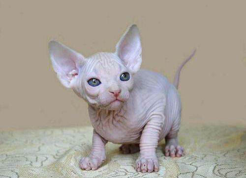 没有毛的猫叫什么名字图片
