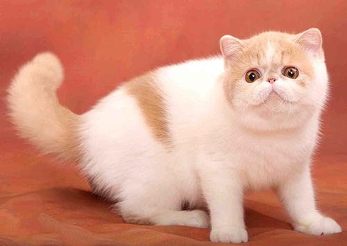 猫咪资讯  加菲猫与波斯猫区别,你了解多少?