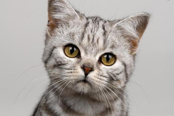 宠物猫有多少品种图片