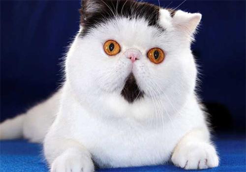 宠物猫行情:异国短毛猫多少钱?一只图片