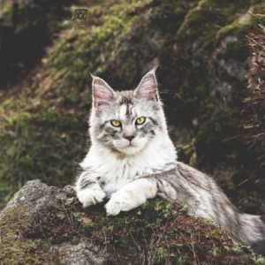 棕虎斑猫_宠物猫价格|宠物猫多少钱|宠物猫图片|视频|猫咪交易信息