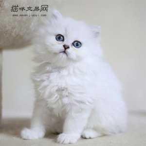 纯种金吉拉多少钱_【金吉拉】金吉拉多少钱一只|金吉拉图片|金吉拉价格|猫咪交易网