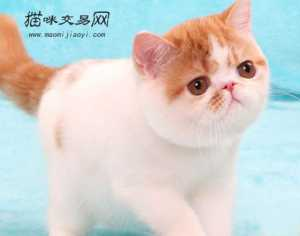 密云出售精品异国短毛猫猫咪活体可专业指导饲养方法