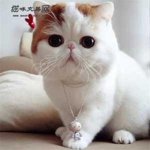 纯种金吉拉多少钱_【上海市】上海市宠物猫价格|上海市宠物猫多少钱|宠物猫图片 ...