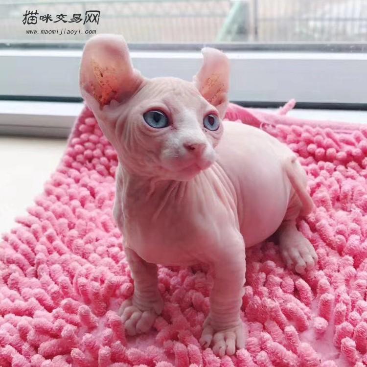 孟买猫价格_【无毛猫】无毛猫多少钱一只|无毛猫图片|无毛猫价格|猫咪交易网