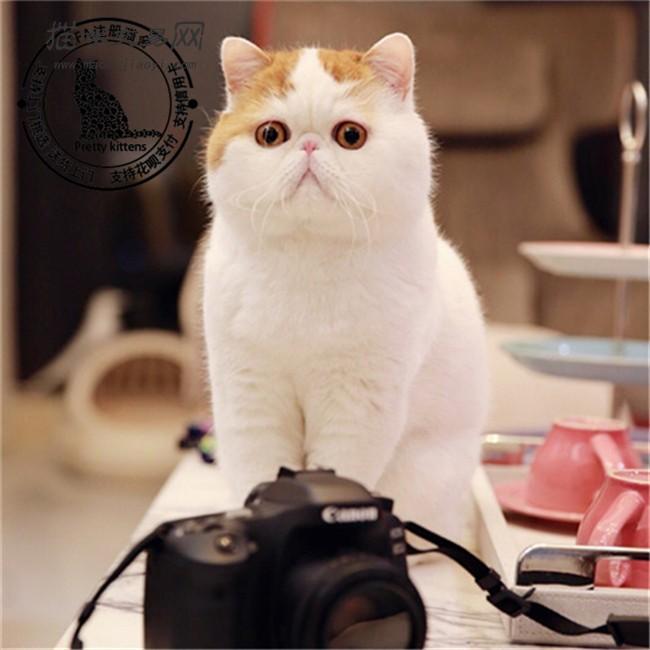 价格:  2888人气:71 卖家承诺: 猫咪自身健康问题包退换 品  种:加菲
