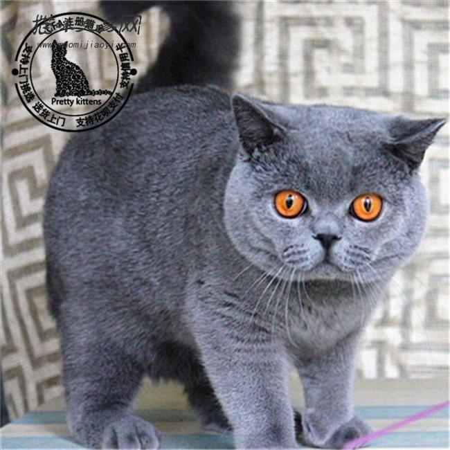 英短蓝猫活体蓝猫幼猫宠物猫家养蓝猫纯种蓝猫幼猫蓝