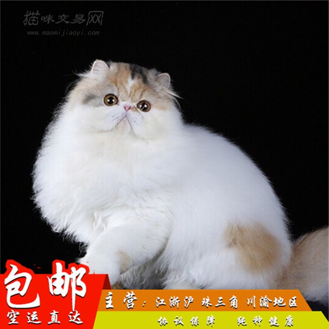 纯白波斯猫异国长毛猫波斯猫幼猫活体宠物猫咪纯白色