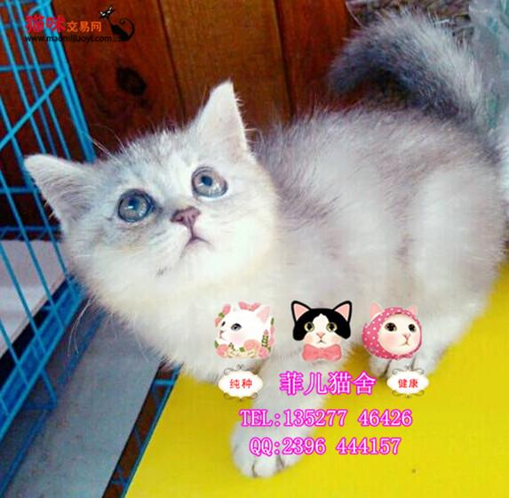 广州菲儿猫舍出售纯种小英短渐层猫猫出售英短短毛猫可爱