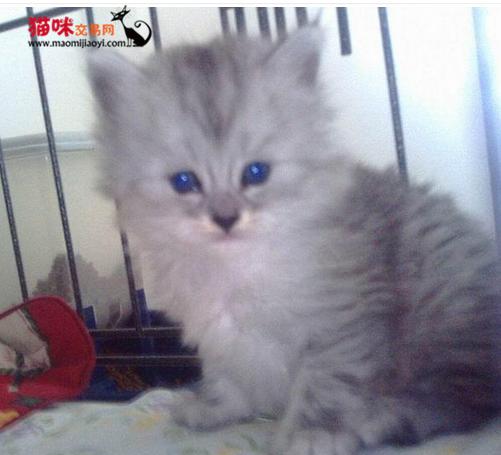 深圳哪里有卖金吉拉猫深圳家养金吉拉一只多少钱 猫咪交易 猫咪交易网