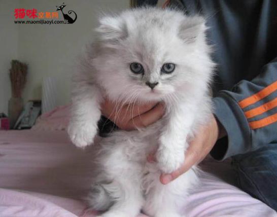 广州哪里有迷人的金吉拉小猫崽出售,公母均有多只可选 猫咪交易 猫咪交易网