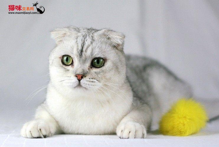 东莞哪里有卖折耳猫小宝贝健康可爱,调皮乖巧 猫咪交易 猫咪交易网