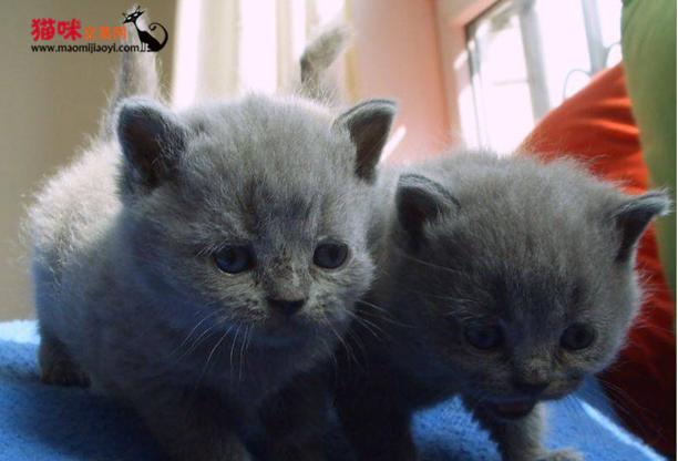 东莞哪里有卖蓝猫 东莞什么地方有卖小猫 猫咪交易 猫咪交易网