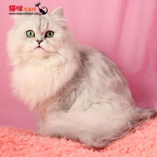 波斯猫多少一只图片1