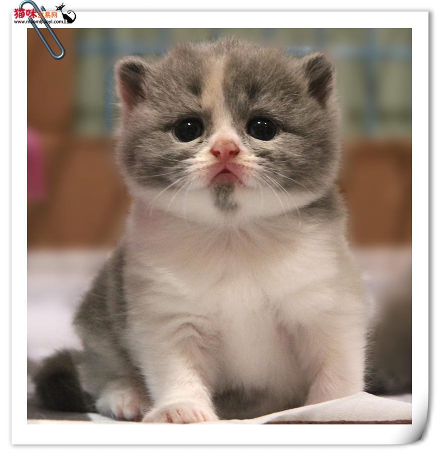 深圳哪里有卖超萌折耳猫疫苗驱虫已做赠送猫粮 猫咪交易 猫咪交易网