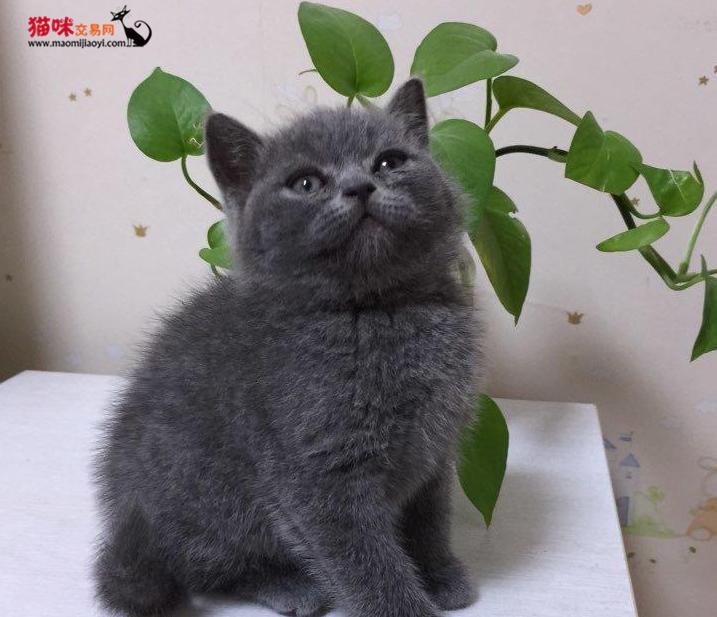 (转让)超萌包子脸蓝猫幼猫出售中