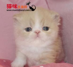 深圳哪有卖加菲猫的什么价位,哪里有卖健康的加菲猫 猫咪交易 猫咪