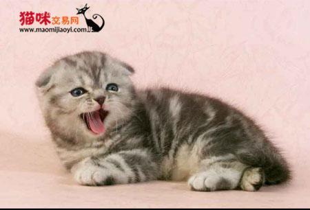 珠海哪里有卖折耳猫,哪个猫舍信誉好 猫咪交易 猫咪交易网