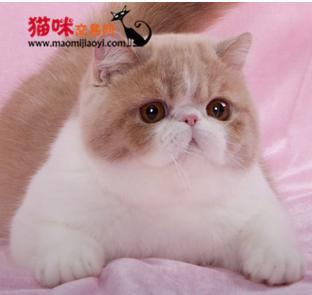深圳哪里有卖加菲猫,健康有打疫苗的加菲猫哪里有卖 猫咪交易 猫咪