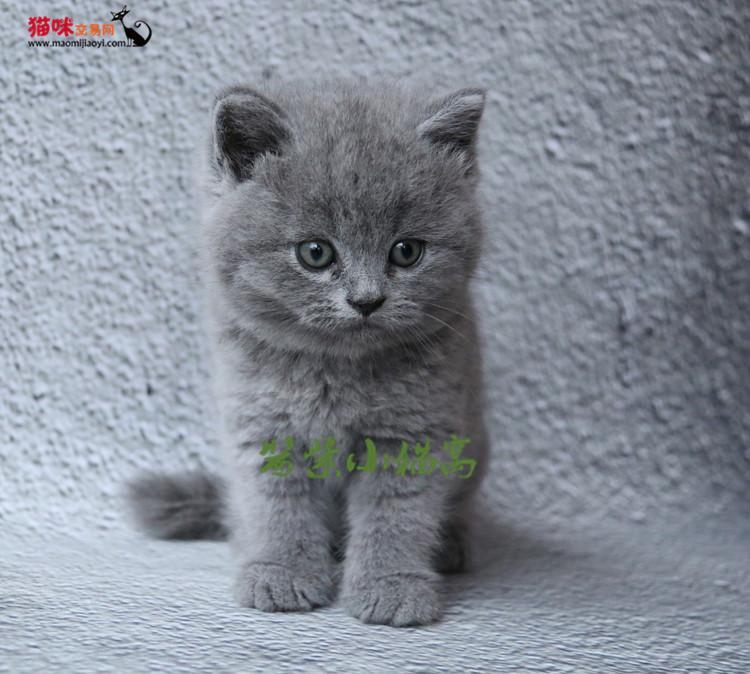cfa家养专业繁殖高品质纯种蓝猫 赛级血统包子脸超萌超可爱