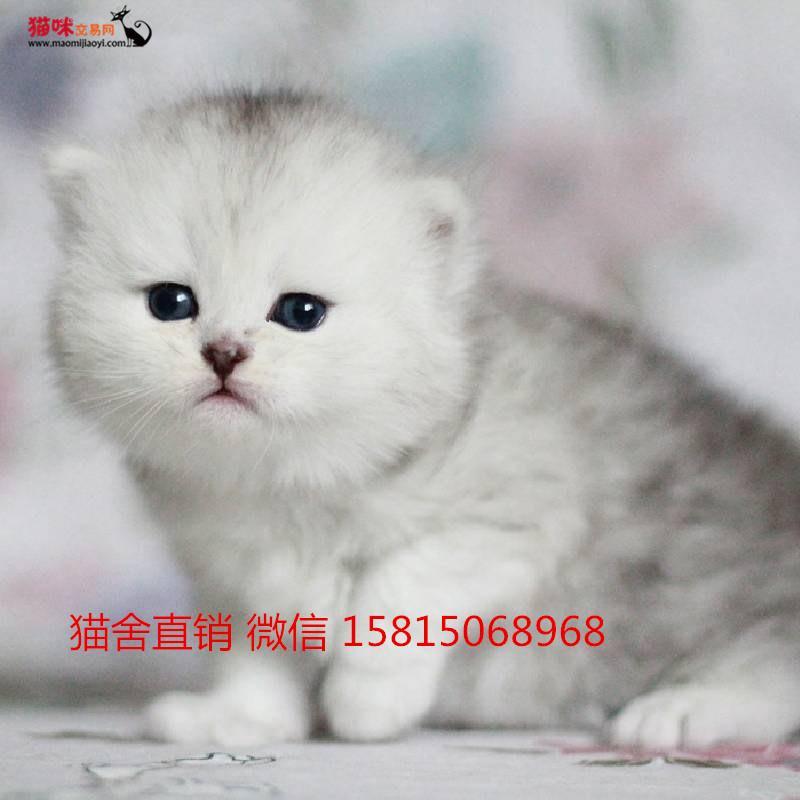 拉猫多少钱东莞哪里有卖金吉拉猫咪的,健康去哪买 猫咪交易 猫咪交