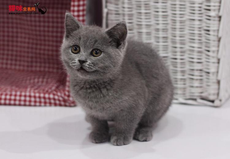 别找了亲 你的小可爱蓝猫就在我家 绝对可爱萌 健康保障