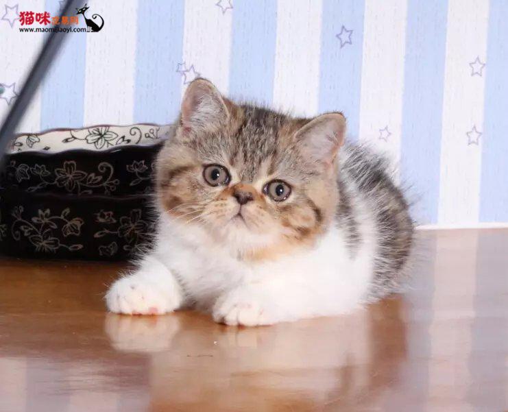 猫咪交易 出售纯种加菲猫 可爱迷人妩媚眼神 价格优惠